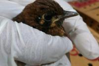 Burung Punglor asal NTT (Barantan)