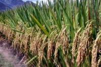 Pembangunan Pertanian yang Kerkualitas Wujudkan Kesejahteraan Petani