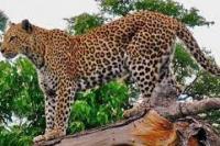 3 Macan Tutul Berkeliaran di China Timur Setelah Kabur dari Bonbin