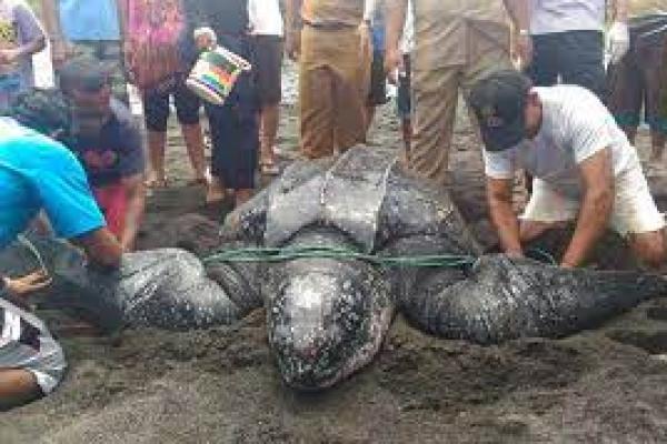Penyu Raksasa Ditemukan Warga Minahasa Tenggara (foto: sindonews.com)