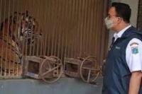 """Dua Harimau """"Pasien"""" Covid-19 di Ragunan Mulai Membaik"""