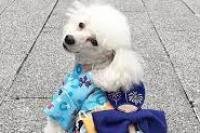 Mei, anjing pudel milik Yuka Iida, bergaya dengan kimono buatan tuannya di depan toko Adachiya di Tokyo, Jepang. (foto: IG/adachiya.official/voaindonesia.com)
