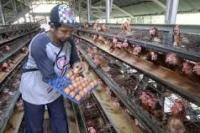 Mendag Akan Serap Telur Untuk Bansos Agar Telur Baik